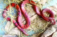 বিরল প্রজাতির সাপ মিললোলাউয়াছড়ায়