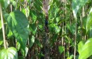 মহেষখালীতে মিষ্টিপানের বাম্পার ফলন