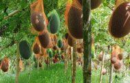তাইওয়ানের ব্ল্যাক কুইন তরমুজ চাষ তাক লাগিয়ে দিয়েছে মেহেরপুরের লিজন