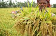 ধান উৎপাদনে বাংলাদেশ বিশ্বে চতুর্থ