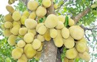 সুস্বাদু ফল কাঁঠালের পুষ্টিগুণ