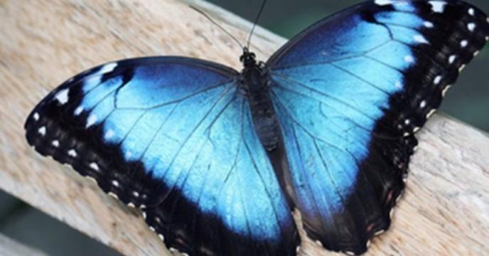 বিশ্বের ক্ষুদ্রতম বিস্ময় পারস্য উপসাগরের নীল প্রজাপতি