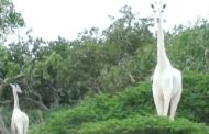 পৃথিবীতে রইল একটি মাত্র সাদা জিরাফ