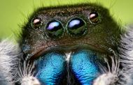 আট চোখ বিশিষ্ট নীল মাকড়সা